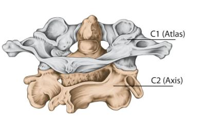 An illustration of the vertebra of the spine, showing the atlas and axis.