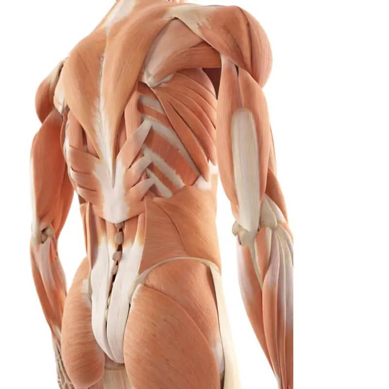 back pain musculature in the back