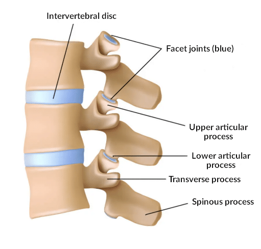 Anatomy of the spine and its vertebrae.
