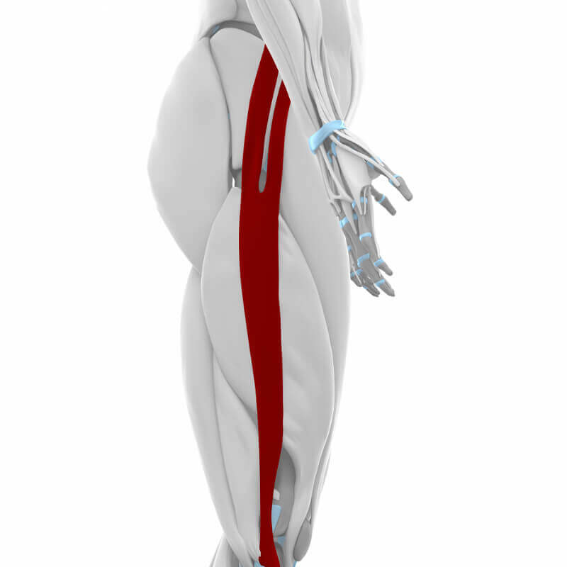 Modellhaft ist der Tractus iliotibialis an der Außenseite des Oberschenkels dargestellt