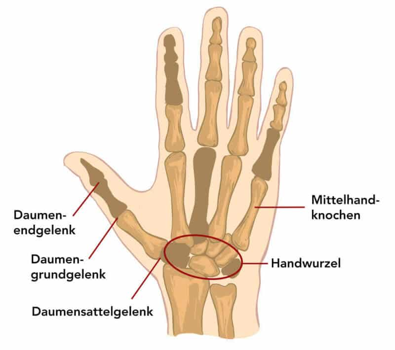 Anatomische Beschriftung von Daumen und Hand