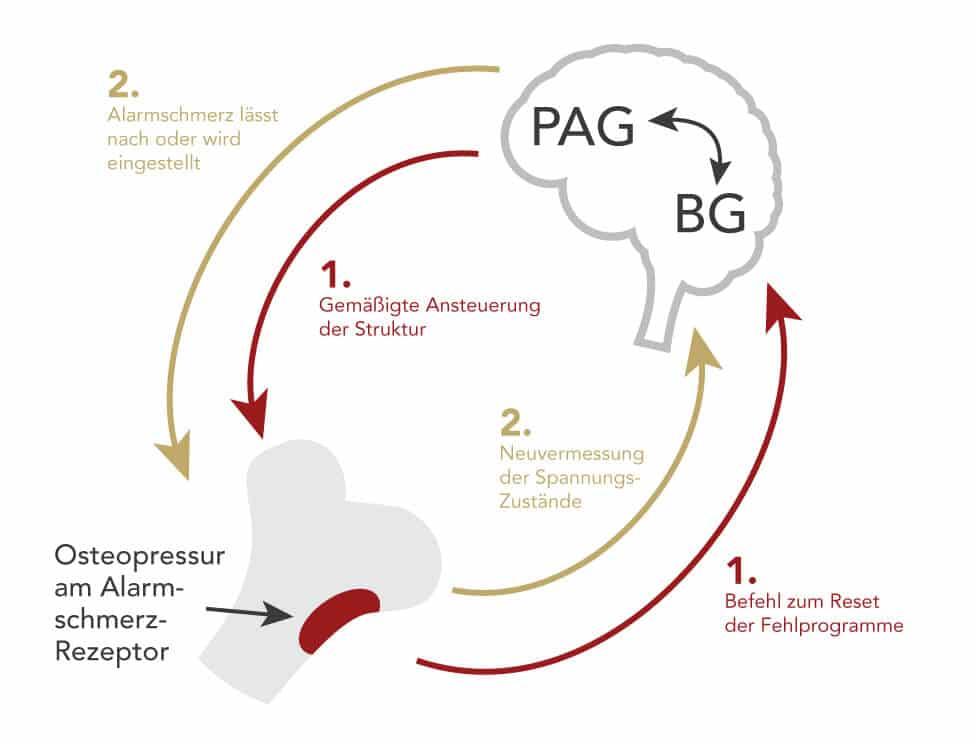 Die Grafik zeigt die Wirkungsweise der Osteopressur nach Liebscher & Bracht im Zusammenspiel zwischen beteiligten Hirnprogrammen, Rezeptoren in der Knochenhaut und der Steuerspannung in Muskeln und Faszien