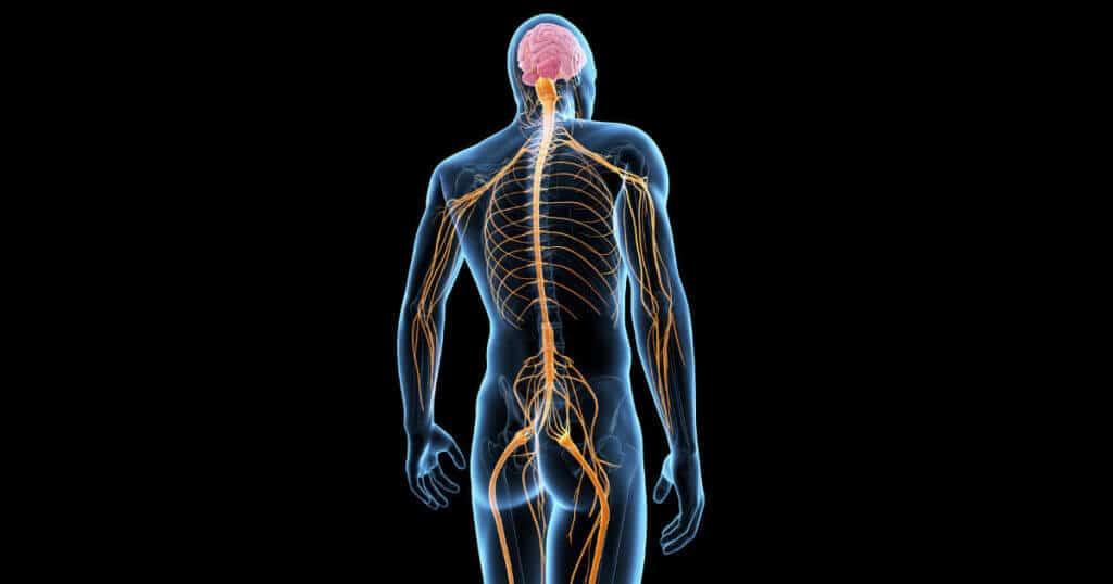 Eine anatomisch-medizinische Darstellung unseres Nervensystems. Die Nerven fuehren durch einen menschlichen Koerper als leuchtende Faeden.